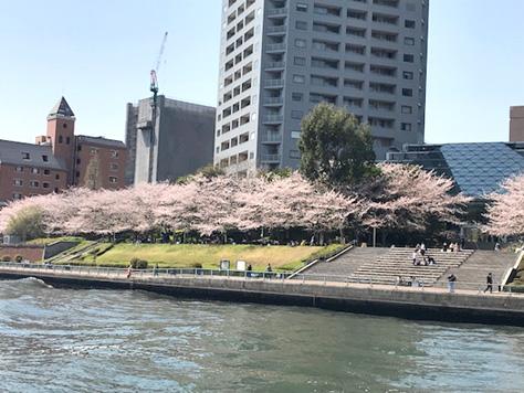 1.桜咲く隅田川、水面には花筏