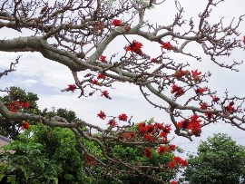9.海を見下ろすデイゴの花